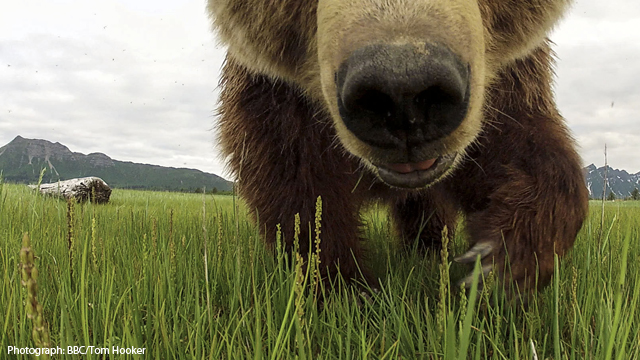 Great Bear Stakeout, BBC One by Tom Hooker