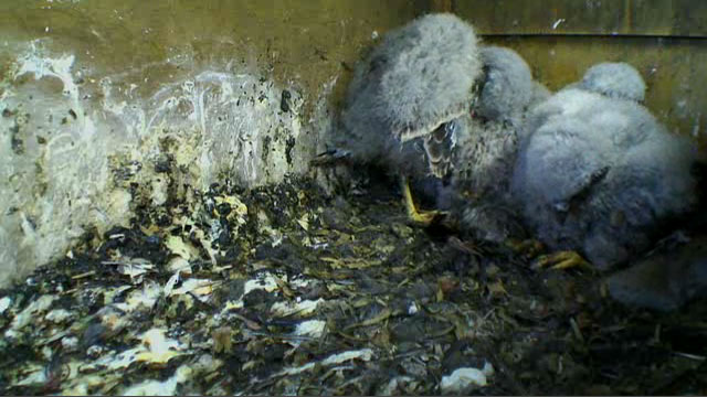 The kestrel chicks showing of their adult plumes