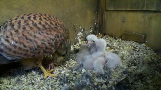 Female kestrel feeding her chicks a dead baby blue tit.