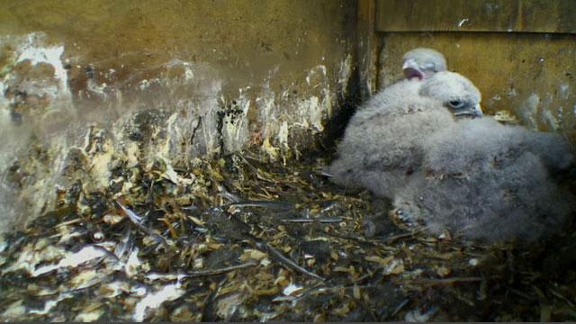 The kestrel chicks huddled in the nestbox