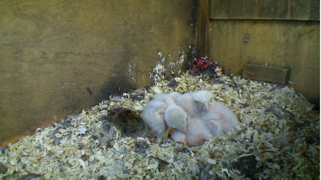 Kestrel chicks with a dead vole