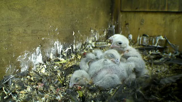 The huddling nestlings surrounded by feathers and bones
