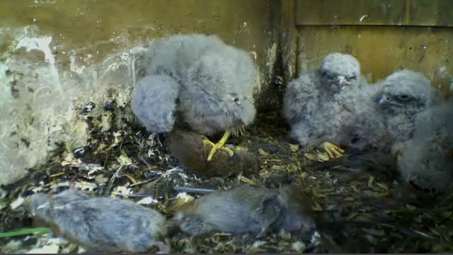 The kestrel chicks feeding on voles