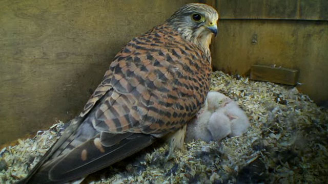 The kestrel family