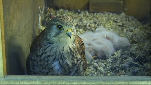 Kestrel perching on the edge of the nest box