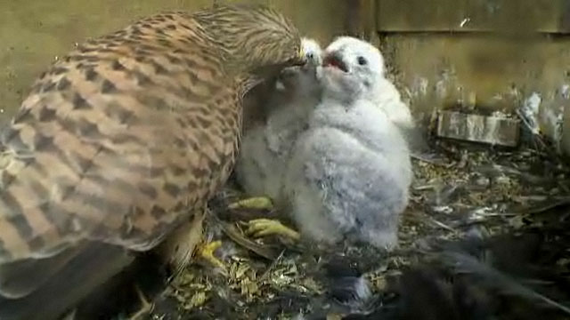 A adult kestrel feeding the chicks a small bird