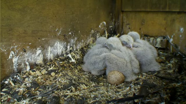 The four chicks huddling with the unhatched egg visible