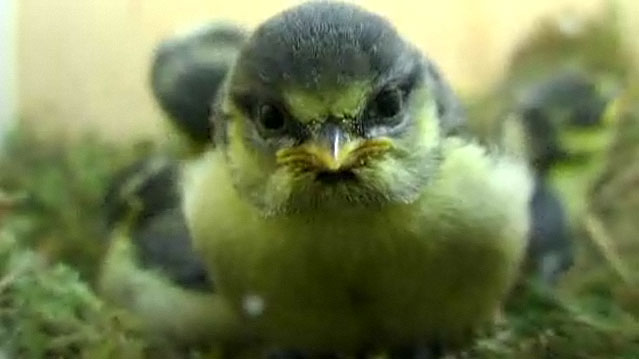Close up of blue tit chick