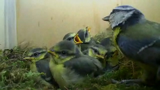 Female blue tit and her nine chicks