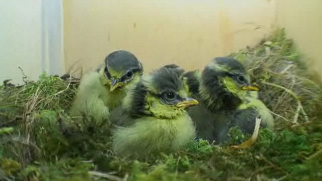 Profile picture of blue tit chicks in nest