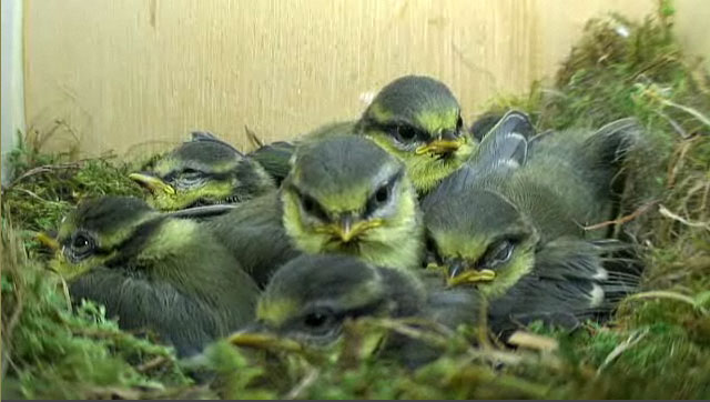 Blue tit chicks huddled together