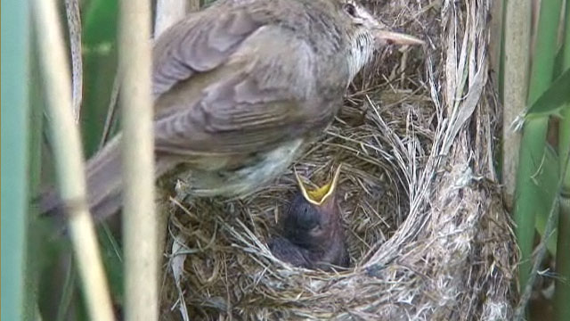 The reed warbler chick being fed by the mother reed warbler