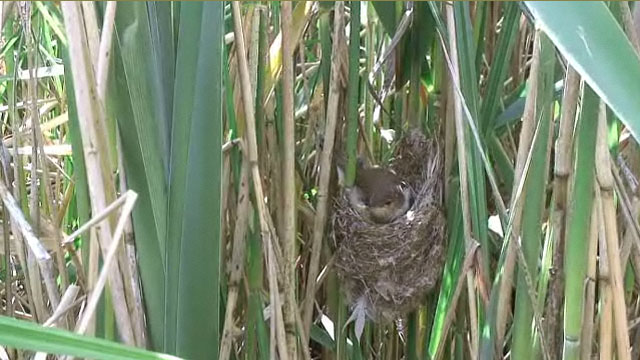 The female reed warbler sat on her reed nest hammock.