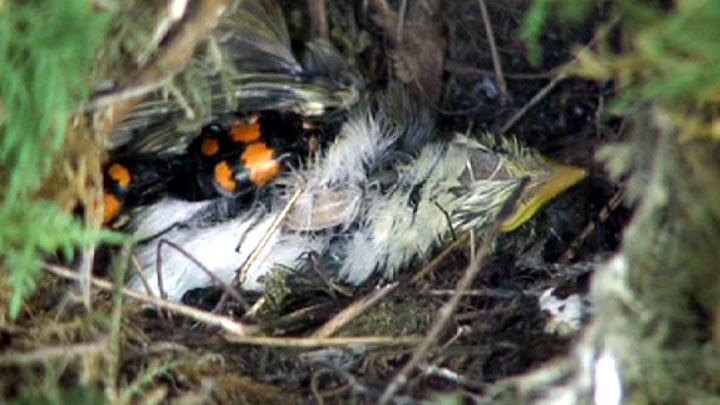Two sexton beetles crawl over dead warbler chick