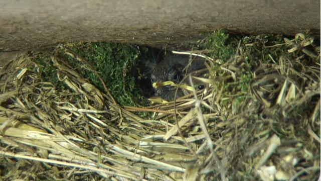 Wren chicks peeking out of nest.