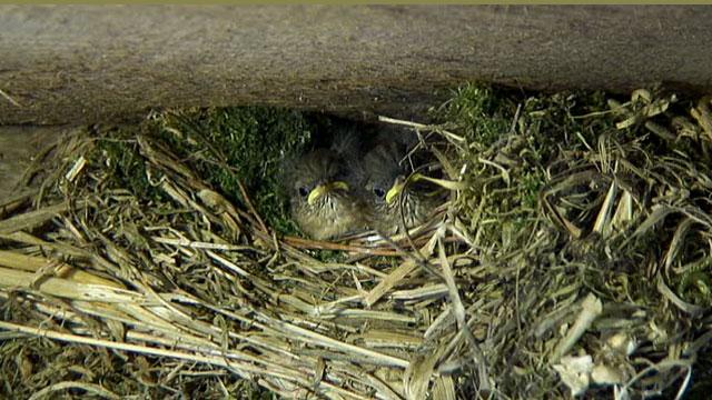 Two plump wren chicks sat in their nest.
