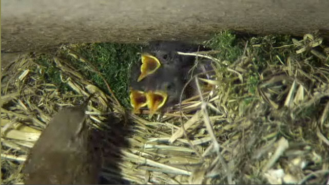 Feeding time at the wren nest