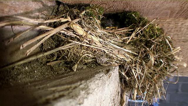 The wren chicks beaks protruding from the nest.