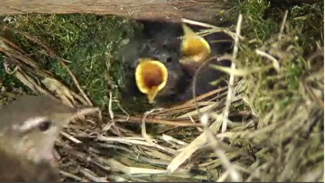Female wren in her nest