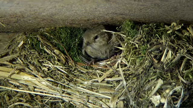Mother wren leaving the nest after a springclean