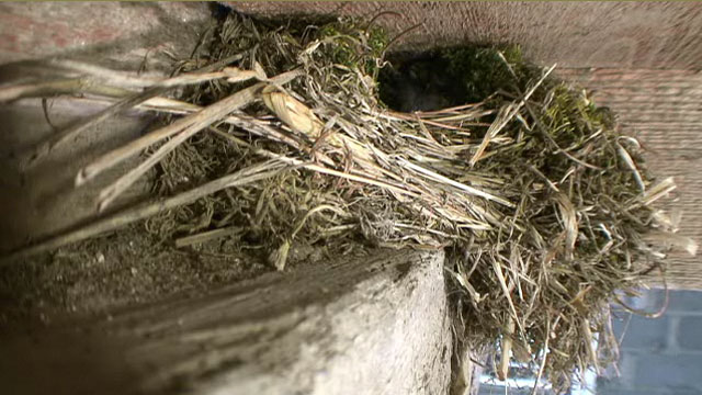 A quiet wren nest in the eaves of a barn