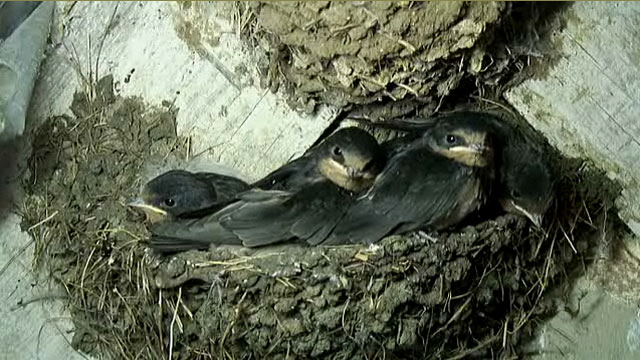 The large swallow nestlings