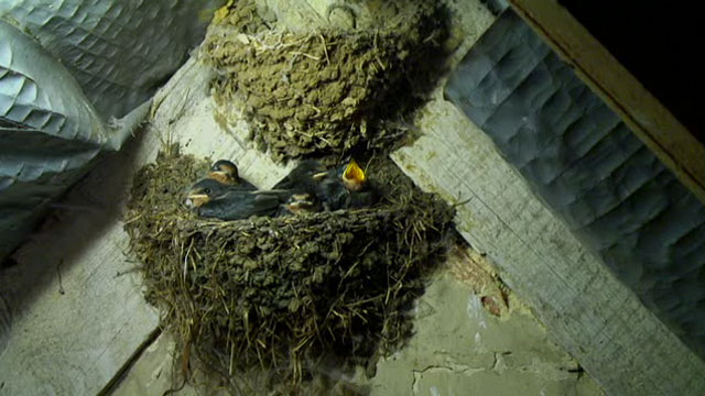 The large swallow chicks sat in their small nest