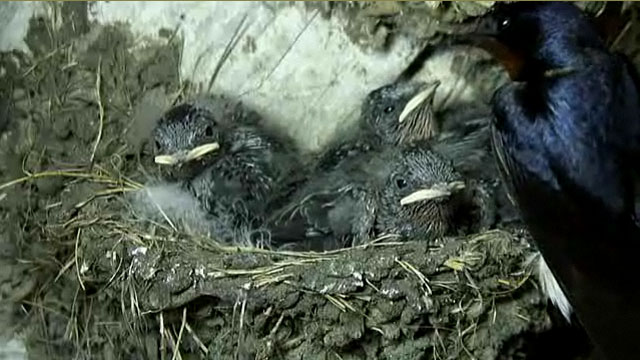Perky swallow chicks being fed by mum