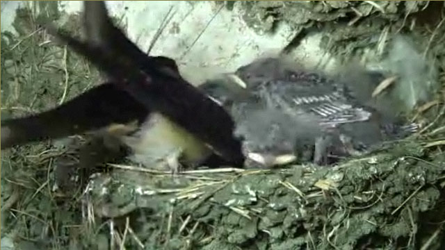 The mother swallow tidying the nest