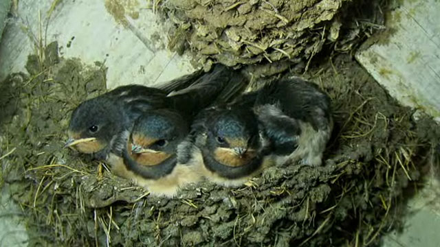 The adult looking swallow chicks sat in their nest