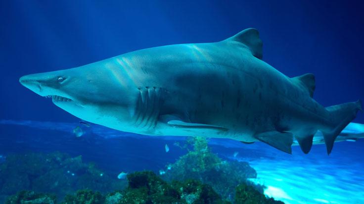 Bbc Iwonder Why Are Sharks Such Successful Predators
