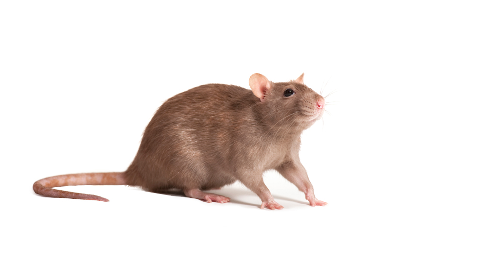 BBC iWonder - Why are we being overrun by rats?