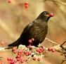 'Blackbird Feeding on Winter Berries' by Peter Bagnall