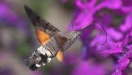 Humming-bird Hawk-moth by Jill Pakenham/BTO