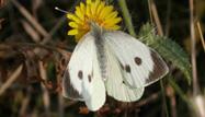Large White by Dawn Balmer/BTO
