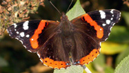 Red Admiral by John Harding/BTO