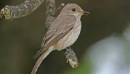 Spotted Flycatcher by John Harding/BTO