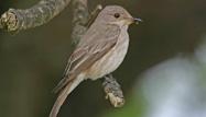 Spotted Flycatcher by John Harding/BTO