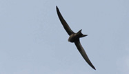 Common Swift by Mike Toms/BTO