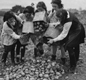 Girls of Beal County School (evacuated from Ilford to Finnamore Camp) help to harvest potatoes.  The girls worked for two hours a day during harvest time.
